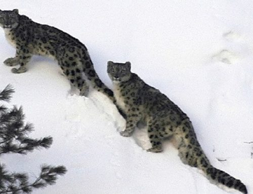 The Importance of Understanding Local Attitudes Towards the Snow Leopard & Measures to Conserve It.