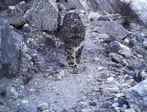 Using Camera Trap Technology to Monitor Snow Leopards