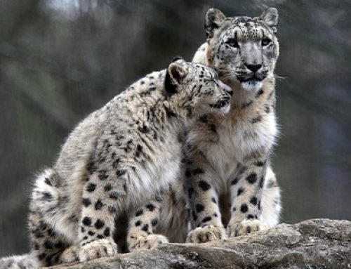 Facing Covid-19: Update from the Snow Leopard Conservancy