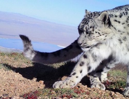 International Snow Leopard Day – Celebrating Snow Leopards From the Heart