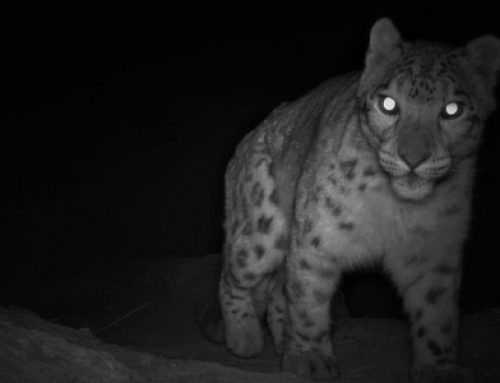 The Snow Leopard Calling