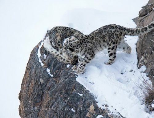 Snow Leopards of the Spiti Valley