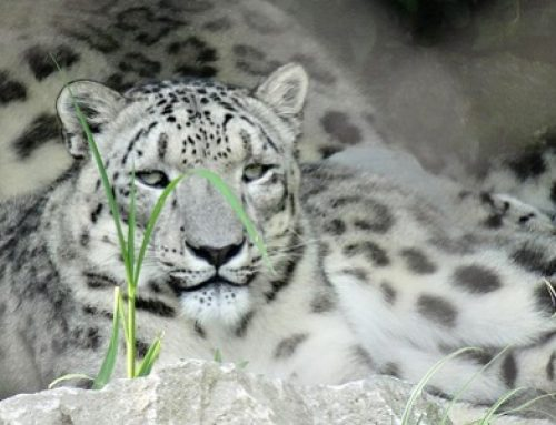Human – Snow Leopard Conflict and Conservation Education
